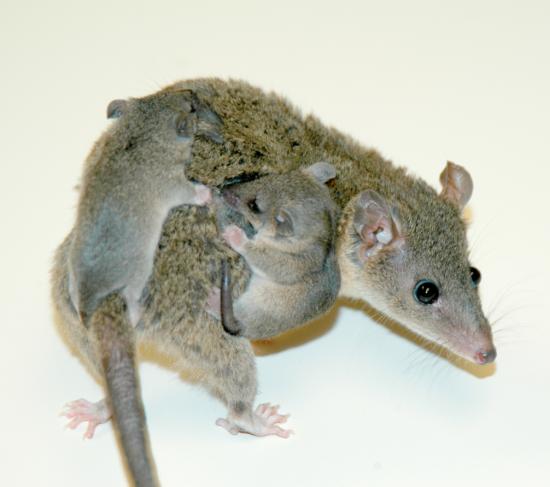 유대목인 짧은꼬리주머니쥐는 임신 기간이 보름 정도다. - Hill E, PLoS Biology 제공